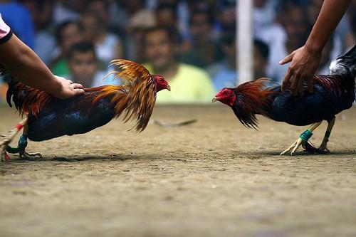 cockfighting game